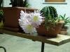 Fiore di pianta grassa